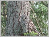 The Hale Eddy Bed & Breakfast Suites, Salt Spring Island  - Barred Owl outside Dining Room window
